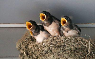 comptage des nids d hirondelles à Langueux