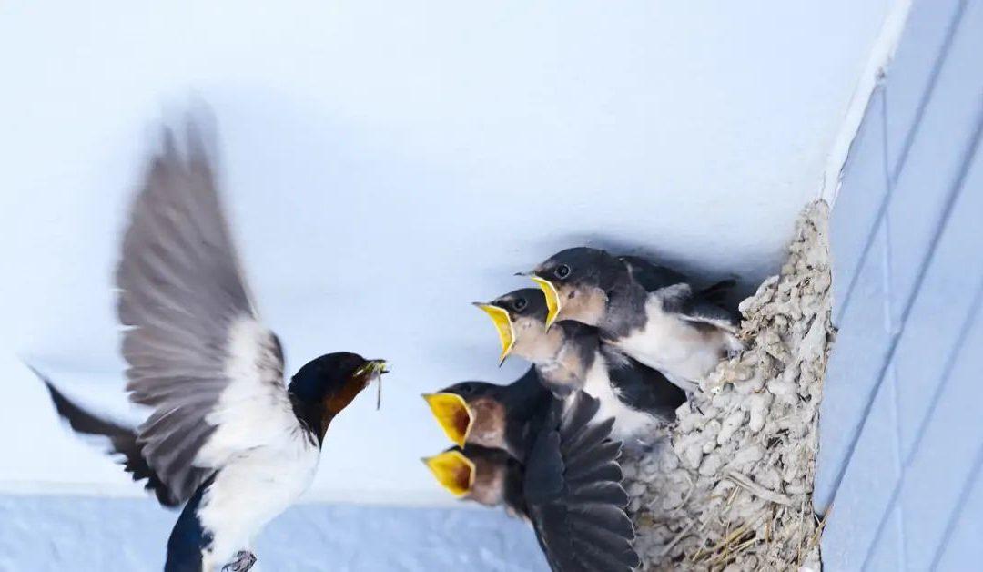 Comptage nids Hirondelles et Martinets 2021